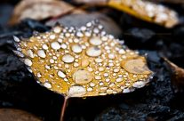Rain Drops On Autumn Birch Leaf